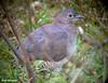 Undulated Tinamou (Crypturellus undulatus) by sparverius81