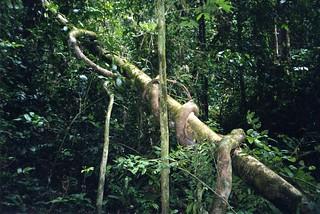 jungle-vine
