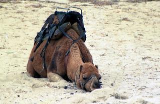 Sleeping camel, South Australia 1987