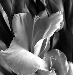 bloom (bw)
