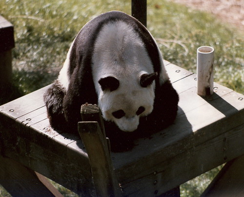 Seated Panda