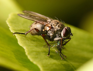 Killer Fly | by Lord V