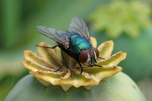 Bottle fly on poppy flower head