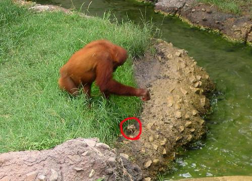 frog orangutang