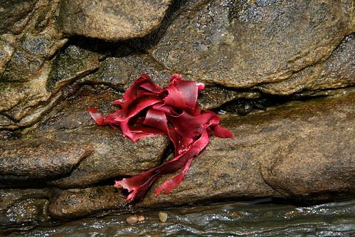 Seaweed on Rock (Crab in Crack)