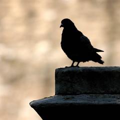 Pigeon tracking dog