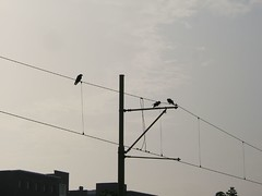 birds on tram cable