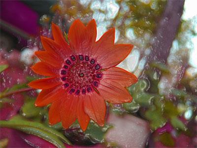 passiflora_ca
