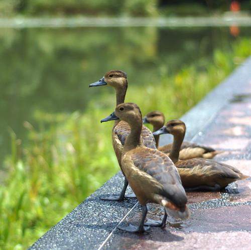 ducks at the botanic gardens
