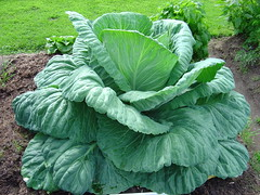 The cabbage is now the talk of the neighborhood.