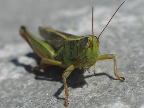 Two-Striped Grasshopper frontal view