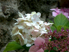 hortensias, 9 aout 2005