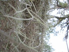 spanish moss Up Close | yes real close up of Spanish Moss ...
