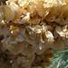 Yucca Bloom Closeup