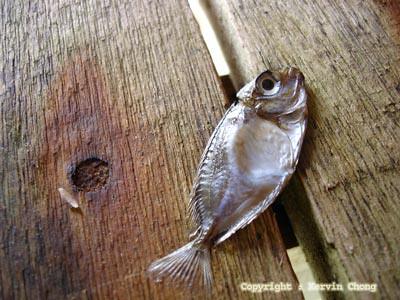 Dead-fish