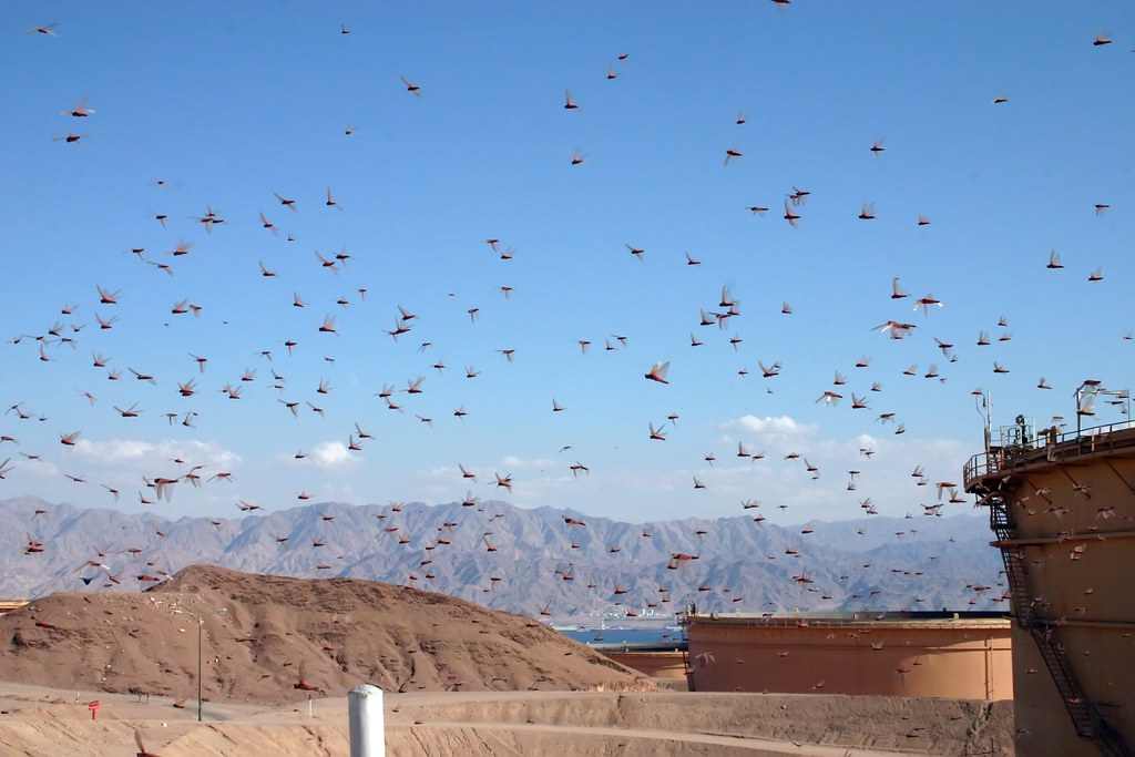 Locust | Huge swarms of locust land in Eilat | Niv Singer | Flickr