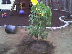 tree5brachychiton