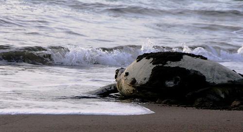 Tartaruga a regressar ao  mar depois da desova I