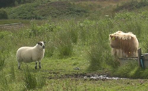 Mouton nargant un veau