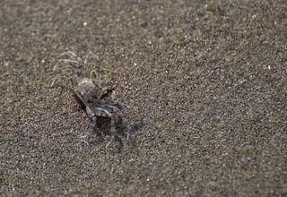 Sand crab, Mandrem beach, Goa, India | by Paul Mannix