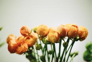 ラナンキュラス(Ranunculus)   by kanonn