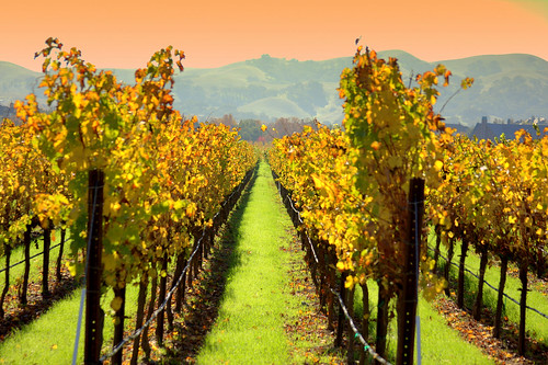 Fall Vineyards | by dsacorn
