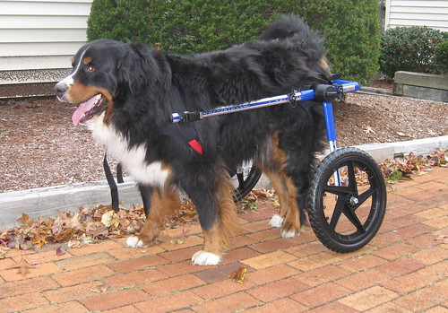 Bernese in a Dog Wheelchair from Walkin Wheels | by handicappedpets1