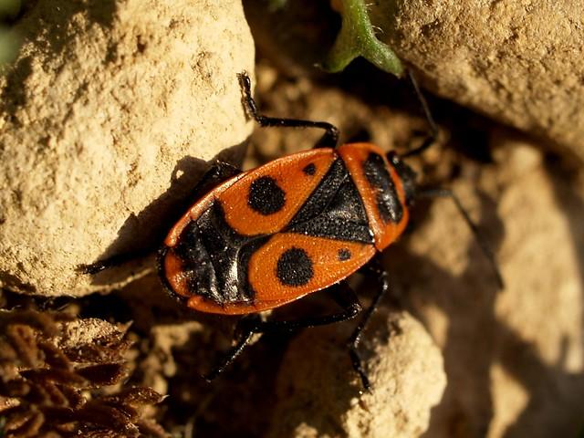 Poll de moro - Chinche roja (Pyrrhocoris apterus) 3