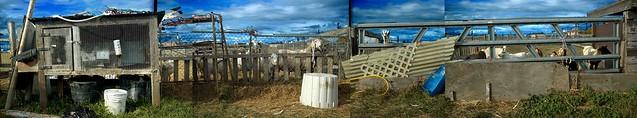 Chivorama (goats)