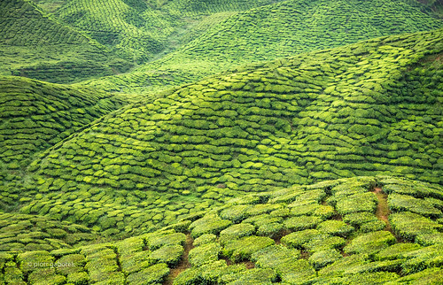 cameronhighlands teaplantation estate agriculture tea bushes patches hills highlands malaysia tanahrata landscape asia southeast travel trip tourism trekking trek hike hiking adventure sightseeing outdoors patchwork nature