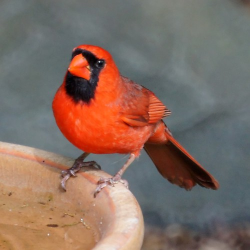 Northern Cardinal | by Mike's Birds