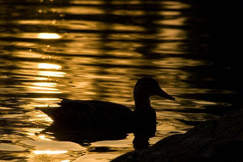 sunset lake water lago atardecer duck agua df pato jae distritofederal chido chapultepec xti