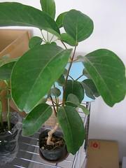 Green Plant バッサイヤ(ブラッサイア)@緑もりもり計画   by jetalone