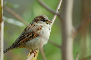 House Sparrow | by A. Drauglis