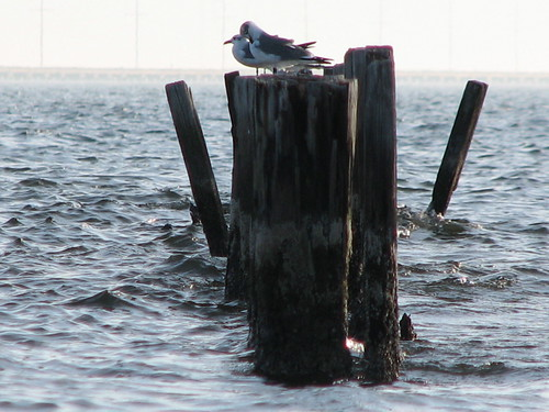 bird seagull pier wharf lake pontchartrain slidell louisiana tjean314 water 2007 laughinggull johnhanley public allphotoscopy20052017johnhanleyallrightsreservedcontactforpermissiontouse