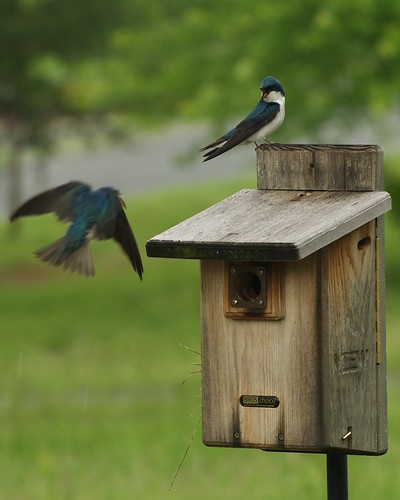 Tree Swallow_051709_02