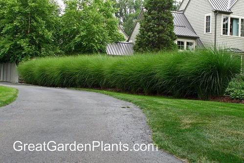 Miscanthus as a hedge plant