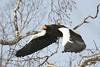 Steller's Sea Eagle by aaroncorey