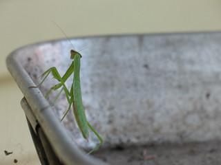 Praying Mantis   by afongen