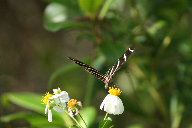 Zebra Longwing on Bidens alba