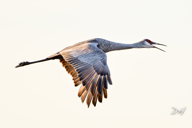 Sandhill Crane Dusk Flight