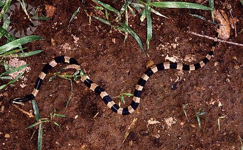 Snake, Burma 1997 | by public.resource.org