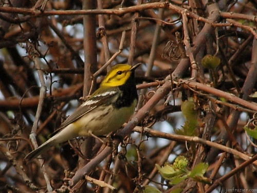 Black-throated Green Warbler   by Jim Frazier
