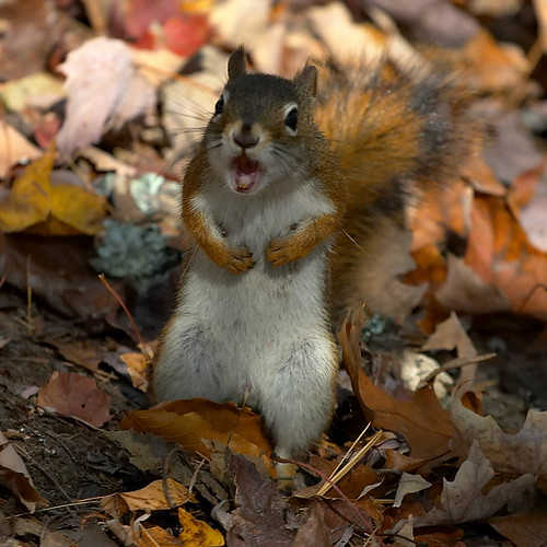 Angry Red Squirrel | by Chris Falt