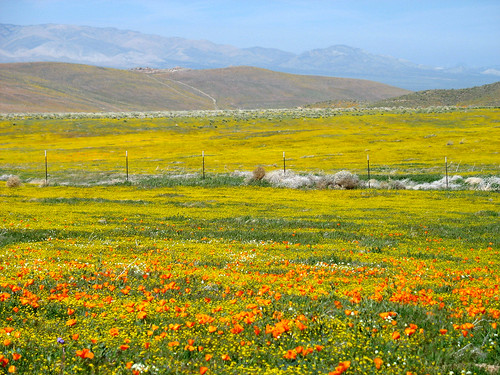 California Poppies and Acton Daisies | by Rennett Stowe