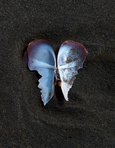 usa beach nature angel landscape washington sand shell clam cc seashell cf clamshell angelwings pgc naturelandscape razorclam copalisbeach photofaceoffwinner thechallengegame challengegamewinner pfogold copalisbeachwashington