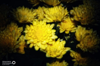 142/365 Holga Flowers   by Hexagoneye Photography