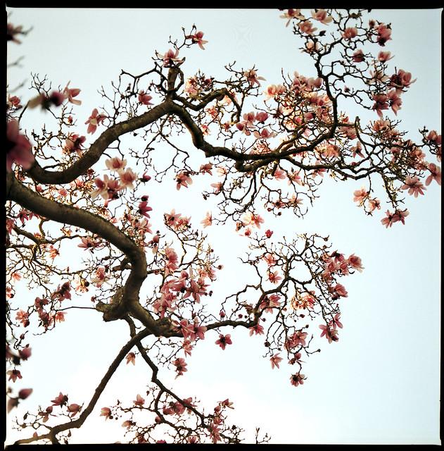 magnolia in late sun