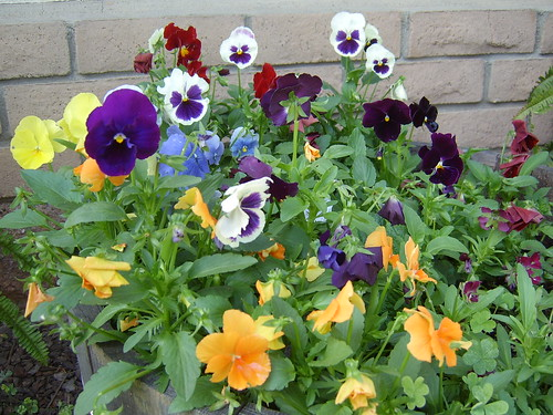 Pansies in a pot 2 | by adventures with bob