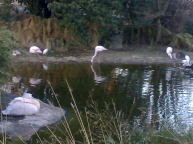 Pelican et flamants